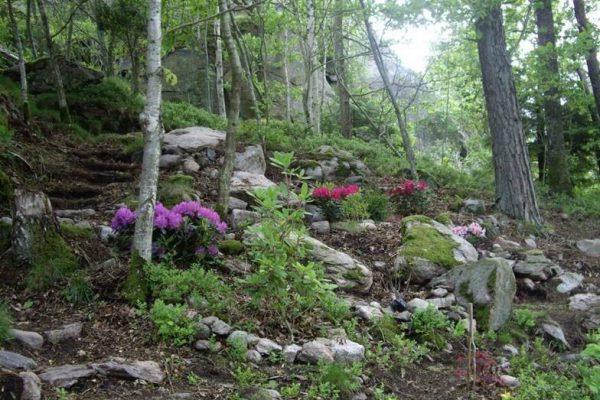 Berras Backe Rhododendron