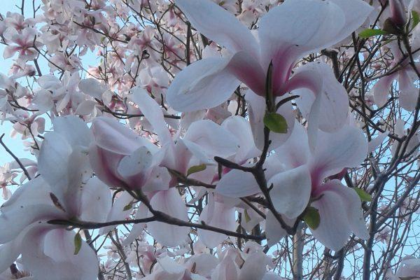 Magnolia cylindrica x Magnolia campbellii mollicomata