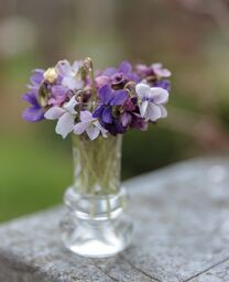 Möt våren med violdoft – Viola odorata!